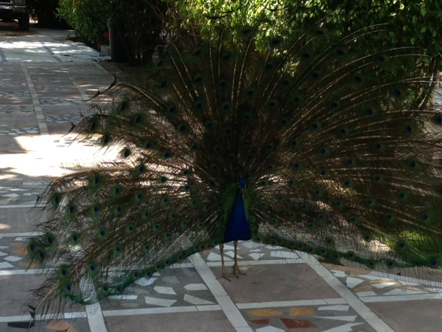 Peacock at our hotel